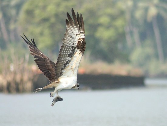 Gauntlet Birds of Prey: Osprey just caught a fish(River Sal,Goa