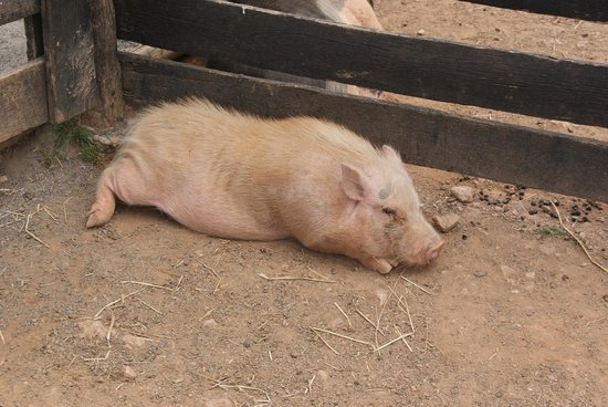 Leesburg, VA: Piggie blocking our exit