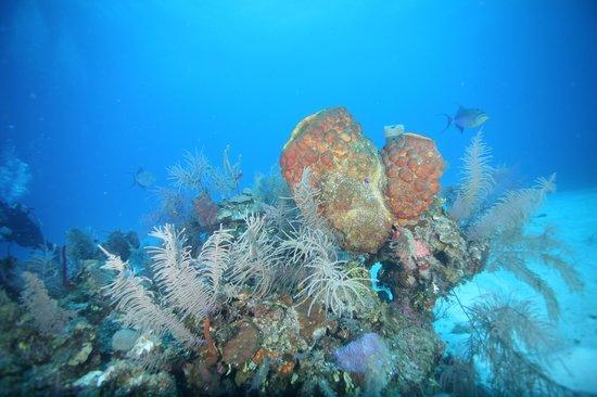 Blackbird Caye Resort: Healthy Reefs