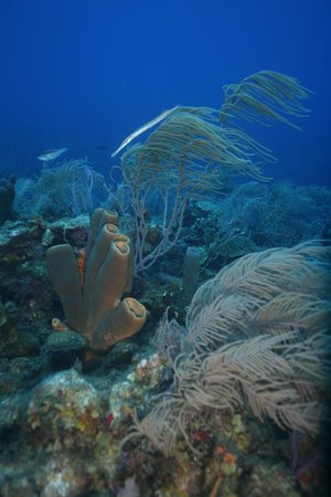 Blackbird Caye Resort: Reef & Trumpetfish