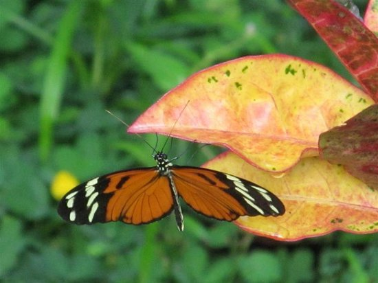 Villas Rio Mar: Another butterfly getting it's nectar for the morning.Dominical, Costa Rica