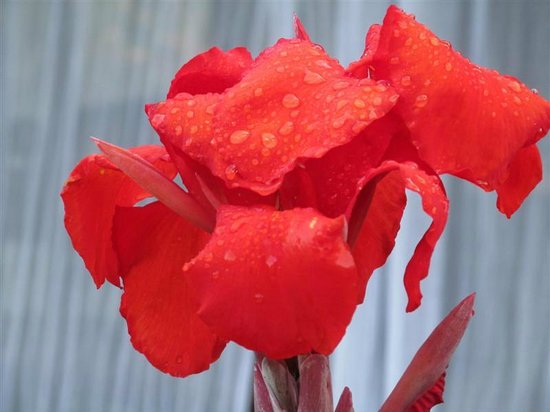 Villas Rio Mar: Beautiful gladiola washed by the evening rains, welcoming the morning.