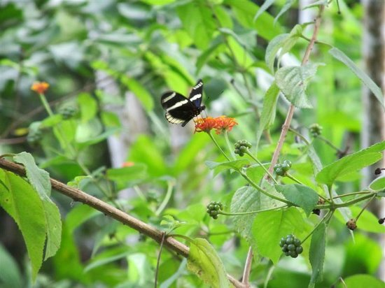 Villas Rio Mar: Gentle butterfly getting it's nectar and pollinating as it goes on the grounds.