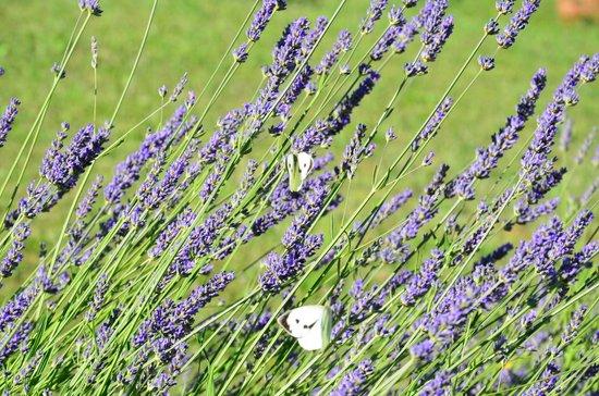 Tenuta Lonciano: Lavender