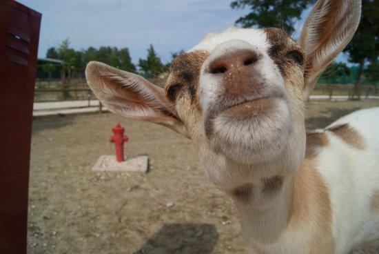 """Résultat de recherche d'images pour """"bisous chèvre"""""""