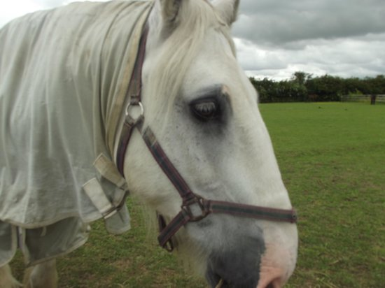 Bransby Horses: Shire Mumphy