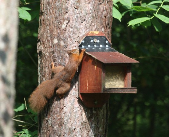 Taldrwst Bed & Breakfast: Red Squirrel at the food box
