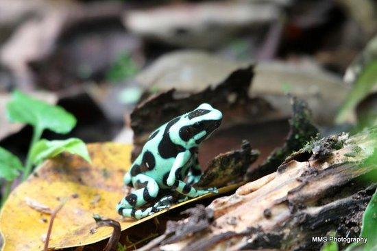 Selva Verde Lodge: Green and Black Dart Frog