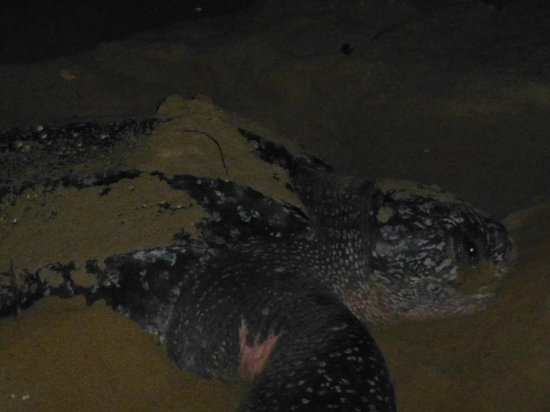 Second Spring Bed and Breakfast Inn: Leatherback sea turtle