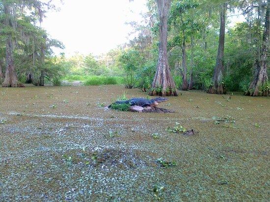 Lake Martin : Alligator