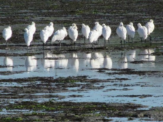 Fairley Motor Lodge : Royal Spoonbills in wetlands close to Fairley