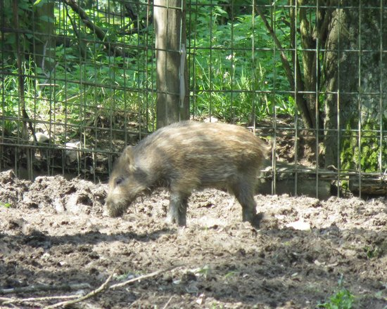 Miskolc Zoo and Culture Park : Wild boar piglet