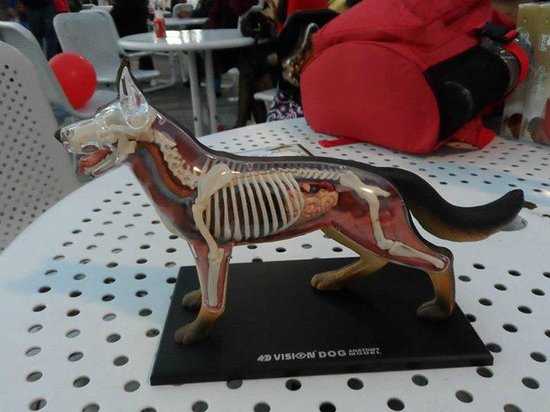 Hong Kong Space Museum: Purchased her Dog Anatomy Kit
