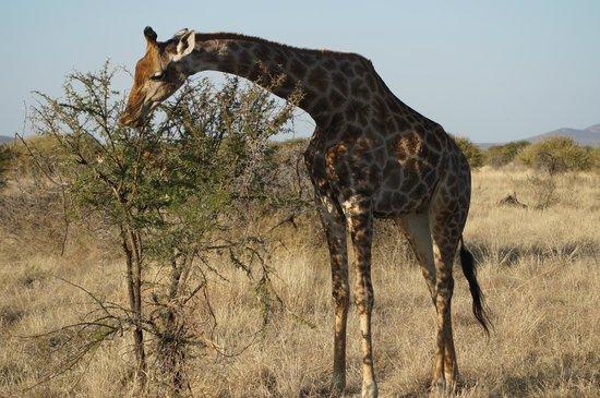 Madikwe Hills Private Game Lodge: So Tall!!