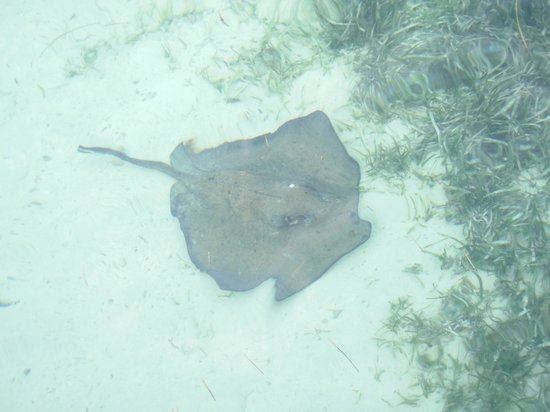 Off The Wall Dive Center & Resort: Gorgeous ray right off shore!