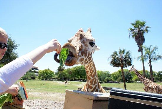 Africa Picture Of Busch Gardens Tampa Tampa Tripadvisor