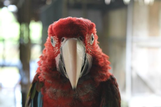 Amazonia Expeditions' Tahuayo Lodge: Red Macaw