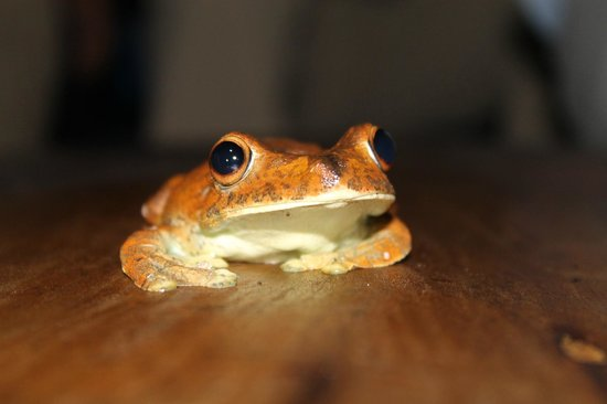 Amazonia Expeditions' Tahuayo Lodge: Gladiator Frog
