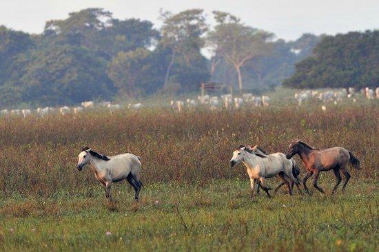 Pousada Piuval: Cavalos pantaneiros