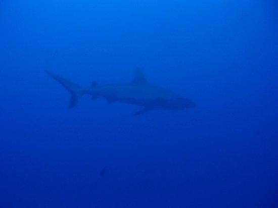 Pacific blue adventure : Requin Gris