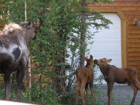 Healy Heights Family Cabins: Mama Moose with babies as we approached cabins