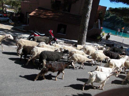 Apollon Hotel: The goats!