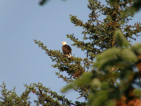 Alaska Base Camp: Visiting eagle spotted from back deck.
