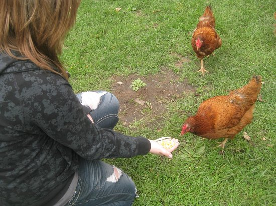 Historic Forestville: Feeding chickens