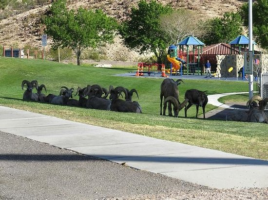 ‪كواليتي إن بولدر سيتي: Bighorn sheep near hotel at Hemenway Park, Boulder City, Nevada‬
