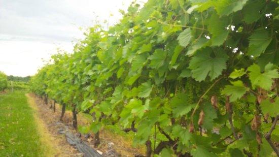 La Route des Vins: Vignoble Gagliano vines