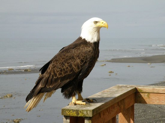 The Alaska Beach House: Eagle out on deck near beach.