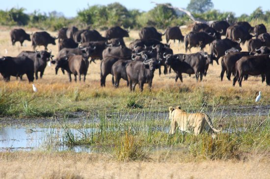 lions hunting cape buffalo - Picture of Great Plains