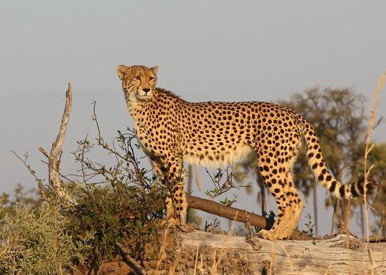 Great Plains Conservation Duba Plains Camp: safari