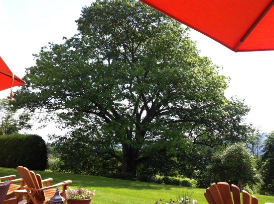 The Inn at Ormsby Hill: The spectacular 300 year old oak tree in the backyard.