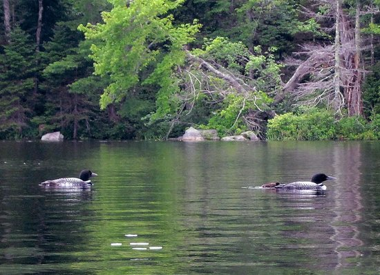 Pillsbury State Park: Loons on Butterfield Pond