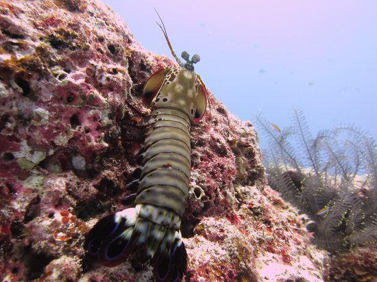 SSS Phuket Dve & Surf Center: Mantis Shrimp