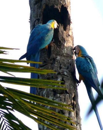 Kosnipata Valley: blue and yellow macaws