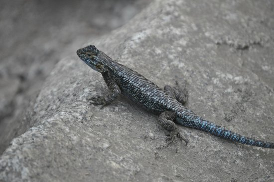 Tokopah Falls : Lizard along trail