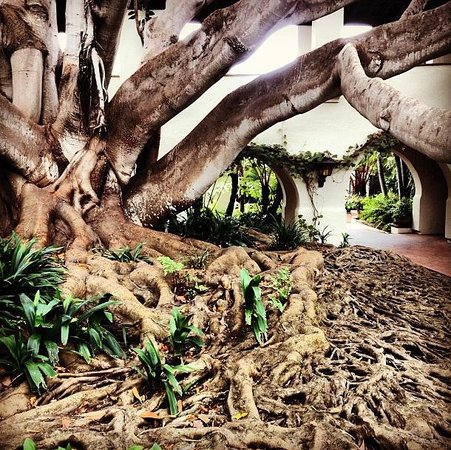 Four Seasons Resort The Biltmore Santa Barbara: Bay Fig Tree near the Spa