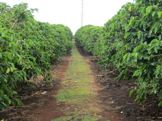 Kauai Coffee Company: Coffee Trees