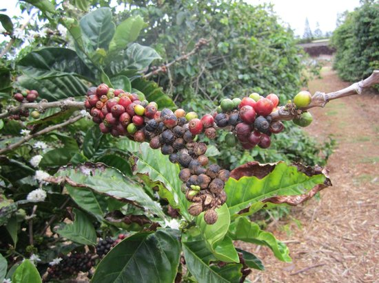 Kauai Coffee Company: Coffee Beans