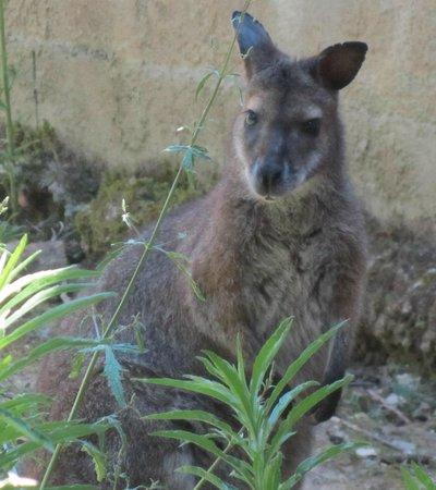 Le Jardin Aux Oiseaux : Kangourou