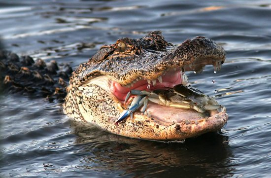 Huntington Beach State Park: Alligator v/s Blue Crab