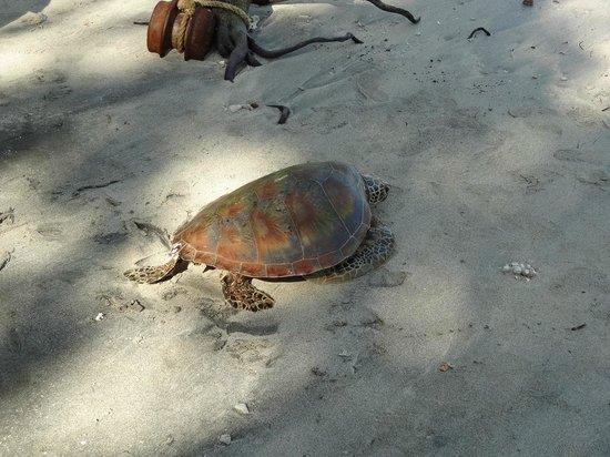 Tetepare Island Eco-lodge: Green Turtle