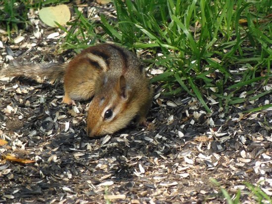 Gateway Inn & Suites of Cooperstown: Chipmunk