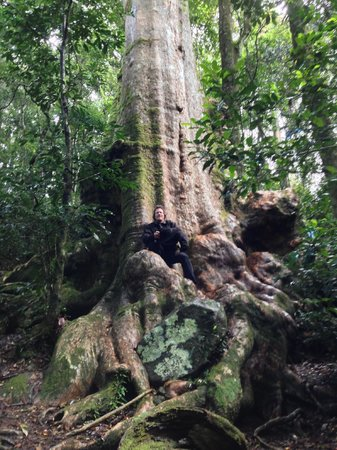 O'Reilly's Rainforest Retreat, Mountain Villas and Lost World Spa: Big tree in hike to Picnic Rock