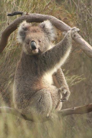 Kangaroo Island Odysseys: Cute Koala