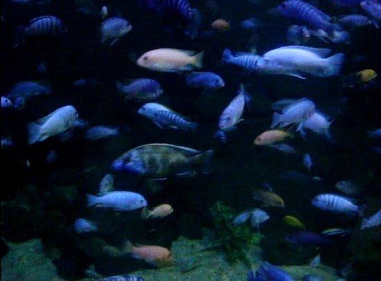 cichlids picture of blue planet aquarium ellesmere port. Black Bedroom Furniture Sets. Home Design Ideas