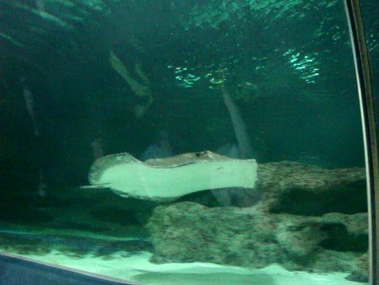 huge ray in tunnel picture of blue planet aquarium. Black Bedroom Furniture Sets. Home Design Ideas