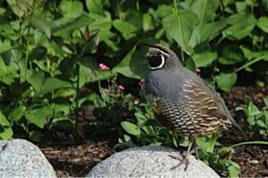 Sutherland Blueberry Bed & Breakfast: Quail in the Garden